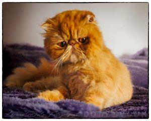 Gato Persa color naranja sentado en manta lila
