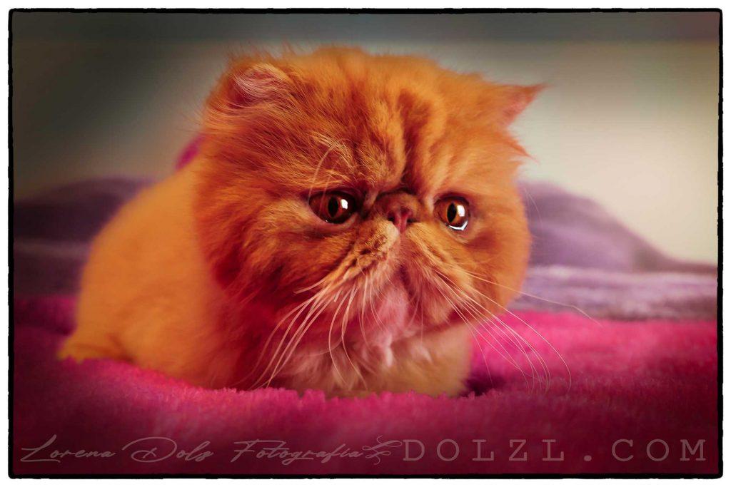 Gato Persa sobre manta fucsia