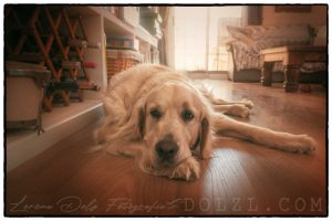 perro Golden Retriever tumbado descanso