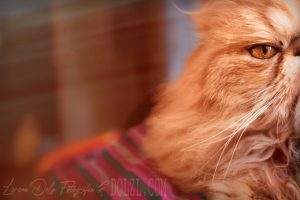Media cara gato Persa naranja