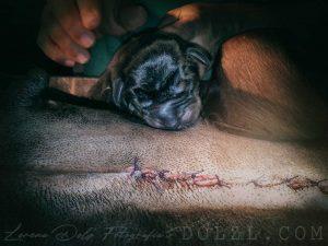 Cesárea Dobermann sutura